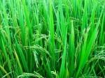 玄米の素.jpg